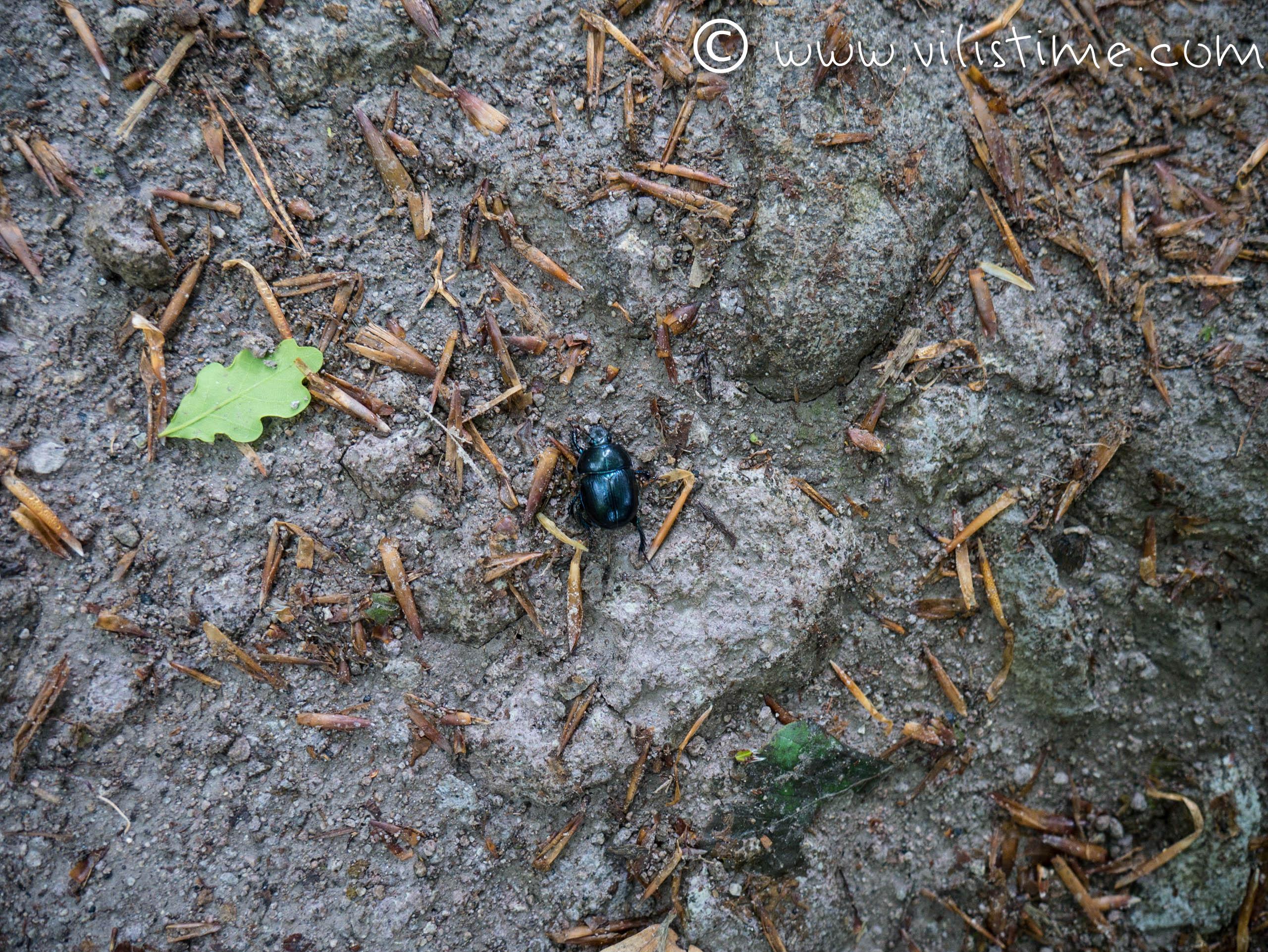 Бръмбарче от Белиташ